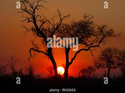 Rote Afrika Sonne untergeht zwischen zwei silhouetted Akazien in Der Krüger Nationalpark Stockfoto