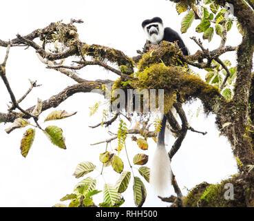 Mantled guereza (Colobus guereza) Affe im Harenna Wald. Bale Mountains Nationalpark, Äthiopien. - Stockfoto