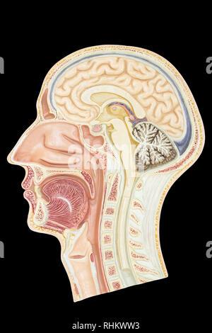 Längsschnitt Modell menschlichen Kopf auf schwarzem Hintergrund - Stockfoto