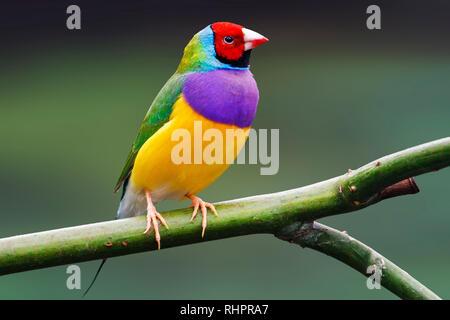 Bunter Vogel sitzt auf einem grünen Hintergrund, wilde Natur - Stockfoto