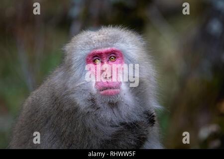 Rot gegenüber japanischen Makaken (Macaca fuscata) auch als Snow monkey in Kamikochi bekannt. Kamikochi in den Japanischen Alpen Chubu Sangaku Nationa entfernt