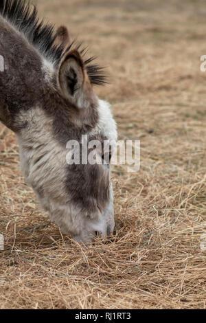 Nahaufnahme der Kopf eines Esels - Stockfoto