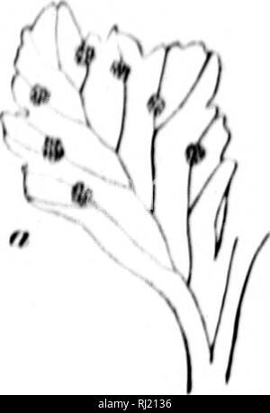 . Wie man weiß, die Farne [microform]: Ein Führer zu den Namen, spukt, und Gewohnheiten unserer gemeinsamen Farne. Farne; Fougères. KAfC jtvyviii. /. Bitte beachten Sie, dass diese Bilder sind von der gescannten Seite Bilder, die digital für die Lesbarkeit verbessert haben mögen - Färbung und Aussehen dieser Abbildungen können nicht perfekt dem Original ähneln. extrahiert. Dana, William Starr, Frau, 1861-1952. Toronto: Verlage Syndicate