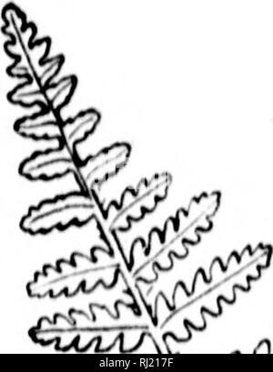 . Wie man weiß, die Farne [microform]: Ein Führer zu den Namen, spukt, und Gewohnheiten unserer gemeinsamen Farne. Farne; Fougères. FLATE x/Xiil. Bitte beachten Sie, dass diese Bilder sind von der gescannten Seite Bilder, die digital für die Lesbarkeit verbessert haben mögen - Färbung und Aussehen dieser Abbildungen können nicht perfekt dem Original ähneln. extrahiert. Dana, William Starr, Frau, 1861-1952. Toronto: Verlage Syndicate