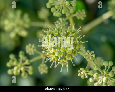 Eine Nahaufnahme Nahaufnahme Detail Makro full frame Cluster von Hedera helix Common ivy Blume Blumen - Stockfoto