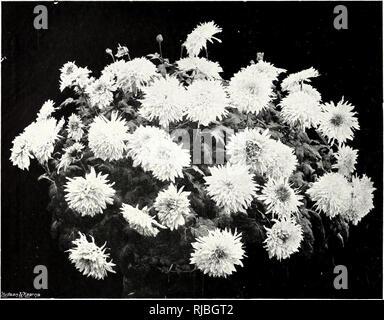 """. Das jahrhundert Buch des Im Garten arbeitens; eine umfassende Arbeit für jeden Liebhaber der Garten. Gartenarbeit. r 276]. MADAME PAUL LACROI. X. Die CHRYSANTHEME - SEINE GESCHICHTE UND FORTSCHRITT. Dies ist eine Blume der Herbst und w Inter. Es bringt helle Färbung zum Gewächshaus und Wintergarten, wenn die Rosen geflogen sind und der Garten trägt ein Aspekt des Zerfalls. Man schätze die Chrysantheme, der """"Herbst der Königin"""", wie phantasievoll getauft, und sicherlich ohne seine schönen Blumen von hundert Tönungen der Wintergarten in der Schönheit und in der das Interesse verlieren würde. Es ist eine Blume des Ostens, ein nationales Emblem von - Stockfoto"""