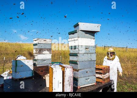 Imker in eine Biene Hof von Bienen in der Nähe von Buffalo, Wyoming umgeben arbeiten - Stockfoto