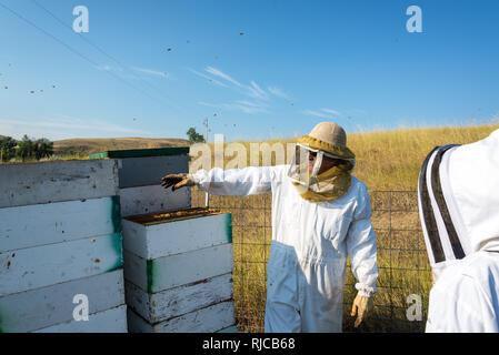 Imker arbeiten in einer bee Yard neben Bienenvölker in der Nähe von Buffalo, Wyoming - Stockfoto