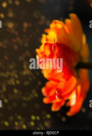 Wunderschöne rot, gelb, orange Tulpe, blühen in einem Garten, der im Hintergrund mit erstaunlichen Bokeh. Bunte Blume in einem hellen Frühling, aus der Nähe. Sommer ga - Stockfoto