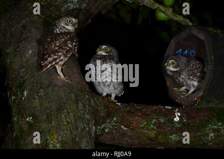 Steinkauz (Athene noctua). Eltern mit zwei Jungen am Eingang eines Nistkastens.