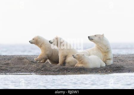 Eisbär (Ursus maritimus, Thalarctos maritimus). Mutter und drei Jungen, die auf einer vorgelagerten Insel. Kaktovik, Alaska. - Stockfoto