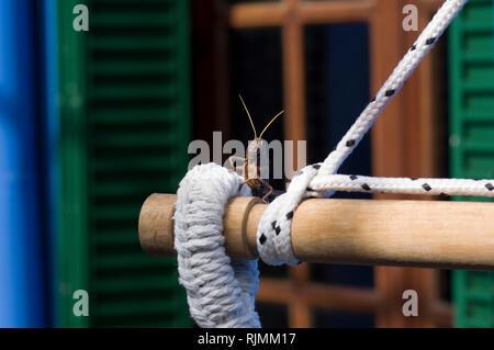 Riesigen Südamerikanischen grasshopper thront auf einem Bit der weißen Seil mit grünen Fensterläden aus Holz und einem natürlichen Holz Fenster im Hintergrund verschwommen - Stockfoto
