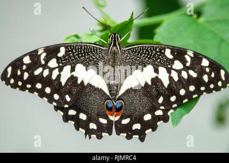 London England Vereinigtes Königreich Großbritannien Kensington Natural History Museum sensationelle Schmetterlinge Ausstellung tropischen Lebensraum gemeinsame Kalk Butterfl - Stockfoto