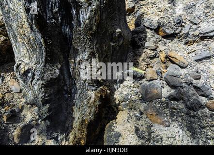 Baumstamm nach dem Brand im Vordergrund verbrannt, mit Asche auf der Erde und Steine gebrannt - Stockfoto