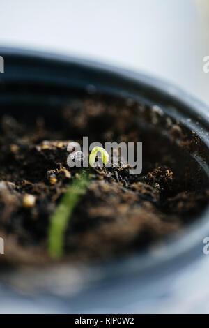 Neue grün sprießen, der aus dem Boden im Sonnenlicht Makroaufnahme detail - Stockfoto