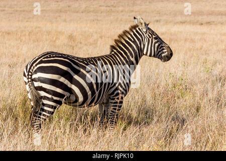 Ein Zebra mit einer alten Verletzung auf der Kruppe, die in offenem Grasland, Wüste, Lewa Lewa Conservancy, Kenia, Afrika - Stockfoto
