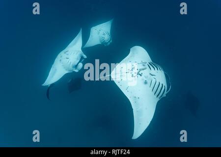 Nahaufnahme von der Unterseite der riesigen Manta mit schiffshalter Parasiten Fisch Reinigung manta - Stockfoto