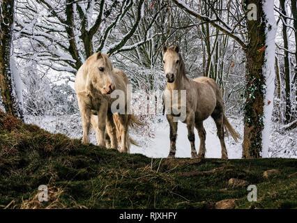 Paar weiße Welsh Mountain Ponys mit Schnee beladenen woodland Hintergrund - Composite - Stockfoto