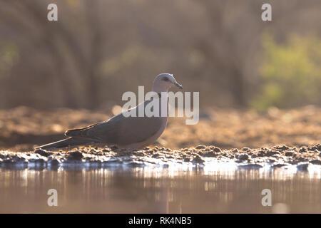 Eurasian collared doveA collared Dove in der Nähe von einem Pool von Wasser in der Savanne in der Morgendämmerung - Stockfoto