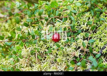 Reife Beeren der Cranberries in Moss - Stockfoto