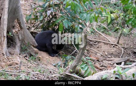 Die Bornesischen Sun Bear Conservation Centre ist ein Wildlife Conservation - Stockfoto