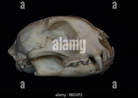 Bobcat Skull mit großen Reißzähne in geöffneten Mund isoliert auf einem schwarzen Hintergrund - Stockfoto