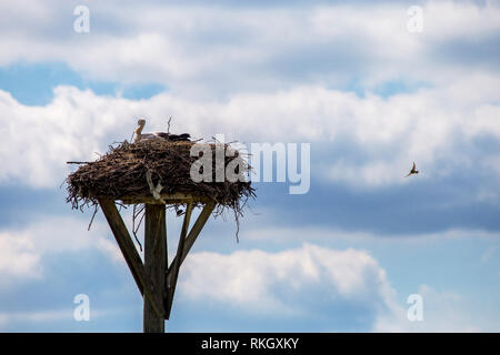 Weißstörche Babys im Nest auf und blauer Himmel. Storchennest mit Jungstörche in Lettland. - Stockfoto