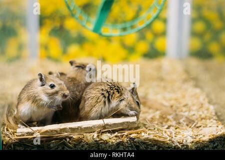 Meriones unguiculatus, der Mongolischen jird oder Gerbil ist ein Nagetier gehören zur Unterfamilie Gerbillinae. - Stockfoto
