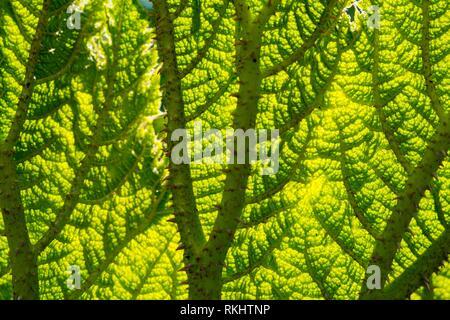 Gunnera Blatt full frame Hintergrundbeleuchtung Textur. - Stockfoto