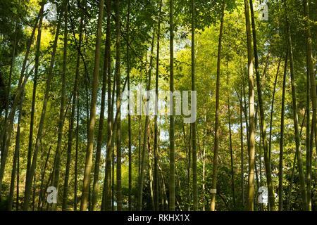 Batumi, Georgia. Feder Hohe Bäume Bambus Holz. Sonnenlicht in tropischen Wald, Sommer Natur. Verschiedene Laubbäume Sommer Hintergrund. Niemand. - Stockfoto