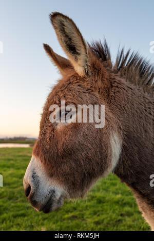 Close-up Farbe Bild von einem Esel mit goldenen Sonnenlicht. - Stockfoto