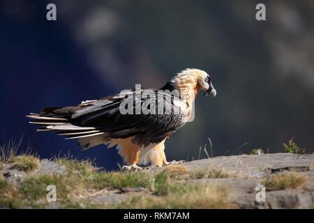 Bartgeier (Gypaetus Barbatus) im Ordesa y Monte Perdido Nationalpark. Huesca. - Stockfoto