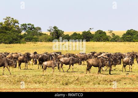 Kleine Herde von Gnus in der Savanne. Die Masai Mara, Kenia - Stockfoto