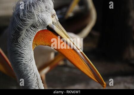 Herrliche Pelikane, mit ihrem langen Schnabel. In ihren natral Umgebung fotografiert.