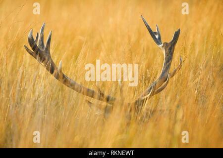 Red deer Hirsch, Richmond Park, London, England. - Stockfoto