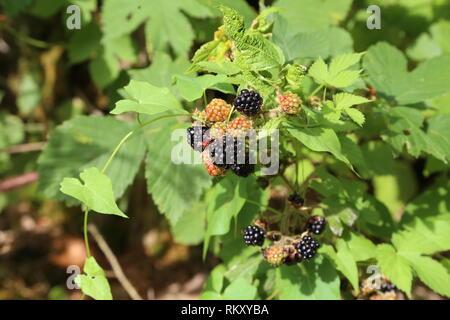 Reife und Unreife Brombeere auf der Bush - Stockfoto