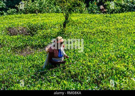 Frauen pflücken Kaffee, Tee Mackwoods Labookellie Immobilien, in der Nähe von Nuwara Eliya, zentrale Provinz, Sri Lanka. Der Stick wird verwendet, um zu wissen, wie weit nach unten auswählen - Stockfoto