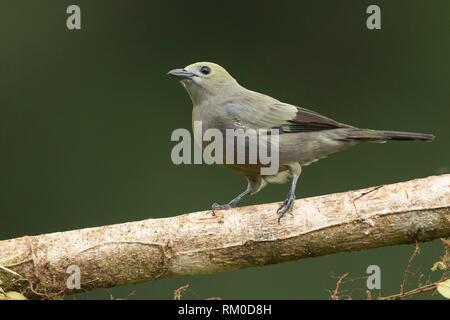 Weibliche blau-grau Tanager. Thraupis episcopus. Costa Rica. - Stockfoto