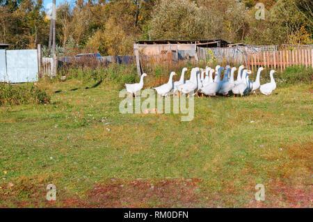 Weiße Gänse im Hof, Haushalt Farm - Stockfoto