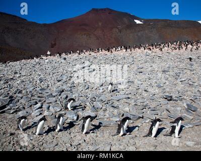 Adelie Pinguine (Pygoscelis adeliae) zu Fuß in einer Reihe. Kolonie im Hintergrund. Paulet Island in der Nähe der Antarktischen Halbinsel, Antarktis. - Stockfoto