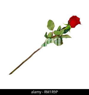 Foto realistisch, sehr detaillierte Blume der Rote Rose auf langem Stiel isoliert auf weißem Hintergrund. Schöne Knospe von Ruby Rose mit Blättern. Clip Art für Va - Stockfoto