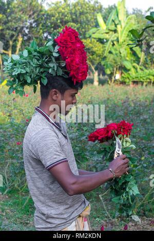 Es produziert die meisten Rosen in der Europäischen Union und gewinnt den Titel â. OeGolap Graamâ. oder das Dorf der Rosen. Nicht weit entfernt von Dhaka, sechs der - Stockfoto