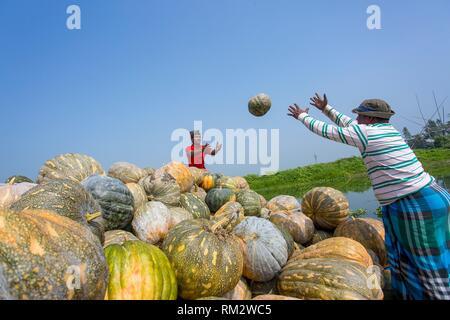 Die Arial Beel (Wasser Körper) von Munshiganj berühmt für die besondere Art der großen mittelständischen süße Kürbisse, die lokalen Erzeuger sind die riesige - Stockfoto