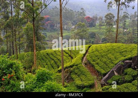 Tee Plantage um die castlereagh Lake in der Nähe von Hatton, Sri Lanka, Indien, Südasien. - Stockfoto