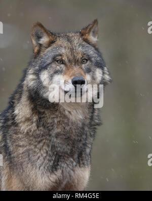 Wolf (Canis lupus) im Winter, Neuhaus, Niedersachsen, Deutschland - Stockfoto