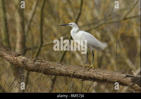Eine schöne Seidenreiher, Egretta garzetta, hocken in einem Baum. - Stockfoto