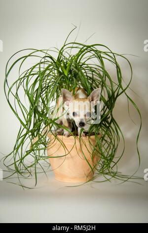 Chihuahua mit Pflanze - Stockfoto
