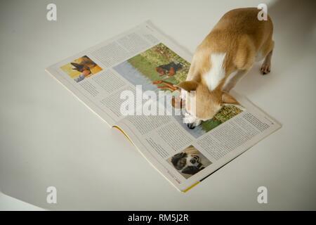 Chihuahua - Stockfoto