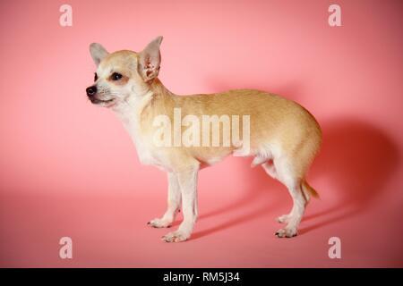 stehende Chihuahua - Stockfoto