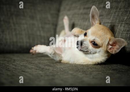 liegenden Chihuahua - Stockfoto